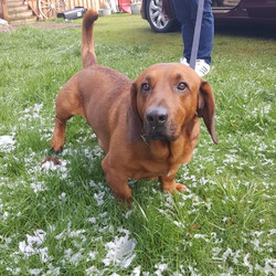 Hank/Basset Hound/Male/Adult