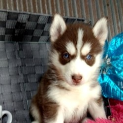 Kaitlyn/Siberian Husky/Female/,Kaitlyn is a combination of gorgeous looks and great personality. She can't wait to meet her new family. When you hold her, you will never want to let go! She loves to snuggle and play, so you'll be set with this pup! Whether playing all day or relaxing on the couch, Kaitlyn promises to be your most loving companion. Kaitlyn will arrive to her new home up to date on vaccinations, pre-spoiled and ready to love you! Don't miss out!