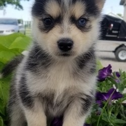 """Pebbles/Pomsky/Female/,""""Hello there! My name is Pebbles, but you can call me baby. I love to snuggle and give kisses to everybody I see! Take me home and I'll be your best friend. When there's a crumb dropped, I'll be there to pick it up for you! When you need a buddy to run miles with, I'll be there with leash in tow. I am very friendly, responsive, and playful. I'm extremely healthy and plan on staying that way for a very long time. Teach me, praise me, and I guarantee I'll make you proud at home or on walks. Call about me today."""""""