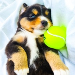 Grunt/Australian Shepherd/Male/,Grunt is the name and being cute is his game! This little tank of a boy is all about the roughhousing and fun, he will be the 1st to barrel out of the puppy pen and into the play yard but when it's snuggle time he is all about the belly rubs! Grunt will grow up to be like his dad, a looker, short and stocky with a fun personality! He has been raised in our home with his mom and littermates. They are with me all day long getting the love, training and vetting they need, it's a perfect environment for puppies. Since day 3, Grunt has been in the Puppy Culture early stimulation program. This along with on-going training helps ensure that your puppy grows into a stress-free, well-rounded family member. All parents breeding, disposition and genetic health testing is considered before breeding to ensure the best puppies. Our puppies are started on crate, potty and leash training and loved!