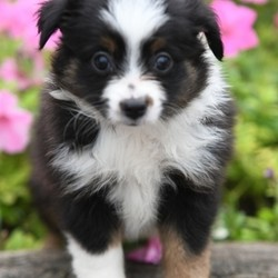 Tally/Australian Shepherd/Female/