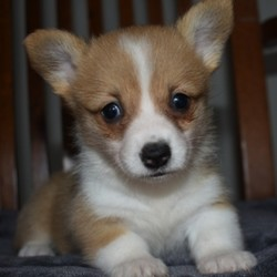 Meeka/Pembroke Welsh Corgi/Female/,Hello! My name is Meeka, and I am super excited to meet you! I cannot wait to join your family and go on adventures with you. I love to play and I am well socialized. I also like to snuggle up next to you for a quiet nap, especially on those rainy days. I come up to date on vaccinations and vet checked, so I will be healthy, happy, and ready to come to my fur-ever home! So, go ahead and pick me for a lifetime of puppy kisses and love. Do not wait!