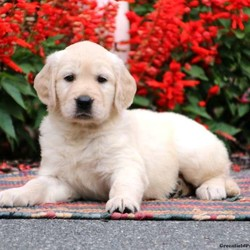 Daisy/Female /Female /Golden Retriever Puppy