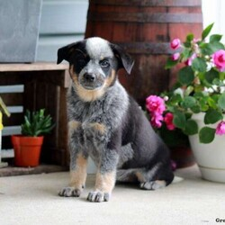 Jade/Female /Female /Blue Heeler – Australian Cattle Dog Puppy,Jade is a cute Blue Heeler puppy who is sure to win you over with her friendly nature and bubbly personality. This feisty gal is vet checked, up to date on shots and wormer, plus comes with a health guarantee provided by the breeder. Jade is being family raised and she loves to bounce around and play. To learn more about this outgoing pup, please contact the breeder today!