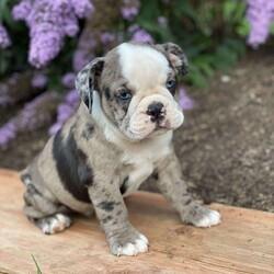 Freckles/Male /Male /English Boston-Bulldog Puppy