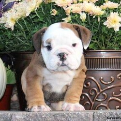 Tug/Male /Male /English Bulldog Puppy,Tug is a beautiful English Bulldog puppy that is super outgoing and has lots of cute wrinkles! This playful pup is vet checked, up to date on shots and wormer, plus she can be registered with the AKC and comes with a health guarantee provided by the breeder. Tug would make a wonderful addition to anyone's family. To find out more about this delightful pup, please contact Lizzie today!