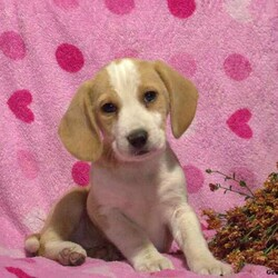 Lena/Female /Female /Beagle Puppy