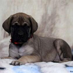 Flip/Male /Male /English Mastiff Puppy
