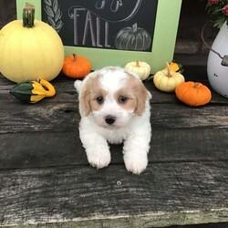 Alfie/Male /Male /Cavachon Puppy