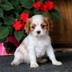 Pablo/Male /Male /Cavalier King Charles Spaniel Puppy,Pablo is a cute Cavalier puppy who is just as sweet as can be! This delightful pup is vet checked, up to date on shots and wormer, plus comes with a health guarantee provided by the breeder. Pablo is family raised with children and enjoys getting lots of love and attention. To find out how you can welcome home this adorable pup, please contact the breeder today!