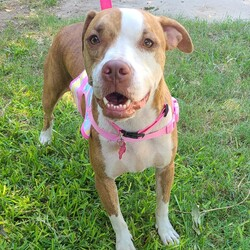 Adopt a dog:BERMA/Staffordshire Bull Terrier/Female/Young,MEET BERMA!!!  Berma is currently living in a backyard. Her owner did not spay her Mama and Daddy,  and then they got evicted. They are now living in a relative's backyard!!!  Berma was born in March 2018 and weighs about 45lbs.. She is gentle and sweet and gets along great with other dogs!!  Berma is very sweet and friendly (I just LOVE her!). She is great with strangers! Such a very nice dog!!!  If you can foster or adopt:  EMAIL: mini-mutts@outlook.com  (fosters/adopters must be in the Dallas/Fort Worth/Rockwall or surrounding areas only)