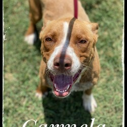 Adopt a dog:Carmela/Pit Bull Terrier/Female/Young,Hi there! I'm Carmela! They named me Carmela because of my beautiful, caramel--colored coat! I was living in a 5th-wheel trailer with a woman, 2 other dogs and NINE puppies! Talk about crowded. When the cool people at ARFhouse convinced the woman we would be better off with them, I was brought to the sanctuary where I've been ever since!   I am a super sweet, energetic girl with lots of love to give! I am a Pit Bull, approximately 41 lbs. and they say I'm about 2 years old. I love to run and play, go for walks and get belly rubs! I will do best in a home with a fenced yard so I can run and play as I please. I'm good with other dogs so a home with a four-legged sibling would be super cool!   The fee to adopt Carmela is $200.00; this includes spay/neuter, deworming, vaccinations and a microchip. If you are interested in adopting Carmela, please visit our website. www.arfhouse.org and fill out an adoption application.   **Please Note: Carmela is currently located at our facility in Sherman, Texas. Adoptions are by-appointment only; if you would like to meet Carmela, please fill out an application on our website. If approved, we will contact you within 48 hours to set up a time to meet Carmela.