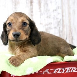 Hunter/Dachshund/Male/,Hi, I'm Hunter and I will just do everything I can to make you happy. I will just fill your life with love and kisses. Imagine all the cool things we can do together! And when we're done, we'll cuddle together. I will arrive up to date on vaccinations and vet checked from head to tail. I can't wait to meet you! Oh, and did I mention that I give world-famous puppy kisses? Don't miss out on them!