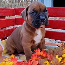 Wiggles/Boxer/Female/,My name is Wiggles! What's yours? I'm really excited to meet my new fur-ever family. The nice people here have been telling me about how much fun I'll have when I get to my new home and I'm just thrilled. I am ready to play all kinds of games, explore your home, and just be an all-around great companion to you! I am ready to share my hugs and puppy kisses with you. I have plenty to give out, trust me! I really hope you are my new family because I'm ready to meet you! I hope to see you real soon!
