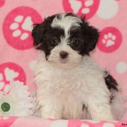 Daisy/Female /Female /Shih-Poo Puppy,Meet Daisy, a bubbly little Shih-Poo puppy who is just as happy as can be! This soft coated cutie is vet checked, up to date on shots and wormer, plus comes with a health guarantee provided by the breeder. Daisy is well socialized and ready to bounce her way into your heart and home. To learn more about this adorable pup, please contact the breeder today!