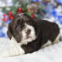 Fate/Cocker Spaniel/Male/,This is Fate. He is ready to come home and be your best friend. As soon as you walk in the door, he'll be right there to greet you with his wagging tail. Fate will be up to date on vaccinations and pre-spoiled when arriving home to you. Call about this sweet little guy today before it's too late and you miss your chance to add this loving pup to your family!