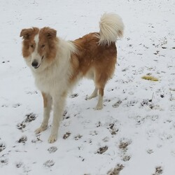Adopt a dog:Joey/Rough Collie/Male/Young,Heartland generally serves Indiana, Kentucky and the Cincinnati areas. However we cannot cover every area.  We do work with our sister and brother rescues in other areas as well. Please consider your local Sheltie rescue before applying outside your area.   We will NOT ship our available dogs.  A home visit by a volunteer is required before an application can be approved.  ******************************************************************************************** Joey is a super handsome fellow, just under a year old.  He was supposed to be a Sheltie but kept growing and growing...   Then a DNA test showed he is a Collie.  He just grew too large for his family.   They loved him to pieces but he knocks the little one down wagging his tail.  They wanted a small dog for their family and Joey is certainly not small.  Joey does fine with other confident dogs but can be a bully if there are shy.  He will not be placed in a home with a shy or reserved companion dog.    He is a good traveler and great with children.  Adoption fee is  $350 and an obedience class is required. APPLY to adopt at www.sheltierescue.org