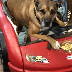 Adopt a dog:Tyson (BP)/Chow Chow/Male/Adult,Hi! My name is Tyson and I'm 6-years old and a Chow/Boxer Mix. I'm a fun loving fella looking for love! I love to go bye-bye and am a perfect gentleman in the car. I love to go for long strolls and yes, I'm a perfect gentleman on the leash. I'm kinda scared of new men and the HALO people have been working with me. I recently spent the night in a foster home with one of those scary men and after awhile, I realized he wasn't so bad. We went for car rides and walks, played in the yard, and watched basketball together. I also can be a little too reactive to other dogs at times and need to be introduced properly (that's what my HALO people tell me). They say I've been doing a really good job in playgroups and I have made a few dog friends that I am fond of. I am sooooo ready to find my person so I can stroll, go bye-bye, and lounge on the couch with them. Oh, and I'm pretty darn good-looking! If you'd like to meet me, I'd love to meet you so fill out an adoption application and let's do this! Love and kisses, Tyson  We are a foster based organization and DO NOT have our adoptable pets at HALO. You must complete an adoption application to meet the cat or dog. We are by appointment ONLY.  Adoption application: www.halok9behavior.com/forms