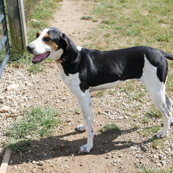 Clarabelle/Treeing Walker Coonhound/Female/Adult