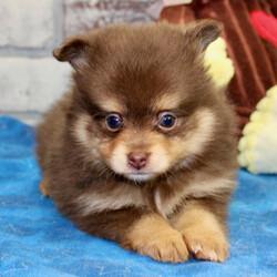 Lucy/Pomeranian/Female/