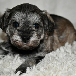 Yenny/Schnoodle/Male/,Look at me! I am probably the cutest, little puppy you ever did see. Everyone that sees me always tells me how beautiful I am, and they can't help but shower me with love, hugs, and kisses. I'm hoping that one day you'll be able to do the same. I love to play and I can even take a nap with you. Pick me! I'm ready to share my love. I am current on my vaccinations and vet checked from head to tail, so when I see you I will be as healthy as can be.
