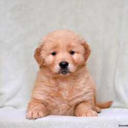 Ace/Male /Male /Golden Retriever Puppy