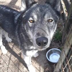 Adopt a dog:Alaska/Husky/Male/Adult,Alaska is a gorgeous male Huskey, with the
