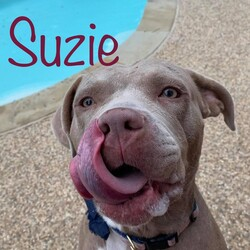 *Suzie/Pit Bull Terrier/Female/Adult