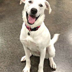 Female Great Pyrenees is available for adoption