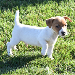 Corbitt/Jack Russell Terrier/Male/,Stop right there! You have found your new baby boy. Corbitt is as adorable as a puppy can be. He will be sure to shower you with his puppy love kisses every morning just to let you know how much you mean to him. Corbitt will be sure to come home to you happy, healthy, and ready to play. He will be up to date on his puppy vaccinations and vet checks just in time to come to his new home. Don't miss out on the newest addition to your family. He will be sure to steal your heart away.