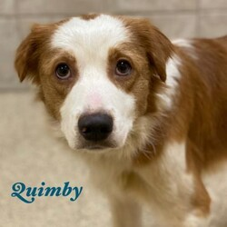Adopt a dog:Quimby/Brittany Spaniel/Male/Adult,