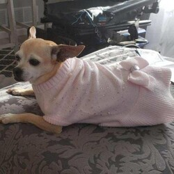Adopt a dog:Luna/Chihuahua/Female/Senior,Hi I'm Luna and I'm an 11 year old chihuahua. I do tend to sleep quite a bit, if you were an 11 year old dog you would be sleeping quite a bit too. I am housebroken and know you are supposed to do your business outside. I will tell you this, I'm not a huge fan of traveling or thunderstorms. I will cuddle and snuggle on my own terms. I love to be with my person and will follow them around. I'm looking for a home to live out my golden years so young children are probably not ideal. I've been around some of the cats here at the shelter and really don't mind them. I'd need to meet any other dogs that might be in the home I am considering living in. Fill out an application at animalrescueofcarroll.org.