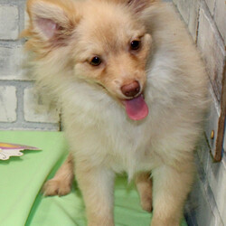 Samson/Pomeranian/Male/,Hi, my name is Samson. I am so anxious to meet my new forever family. Would that be with you? I sure hope so. I am a gorgeous puppy with a personality to match. I am also up to date on my vaccinations and vet checked from head to tail, so when you see me, I will be as healthy as can be. What are you waiting for, I know I will be the best friend you have dreamed of?
