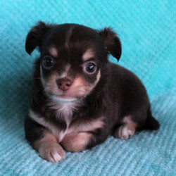 Evon/Chihuahua/Female/,