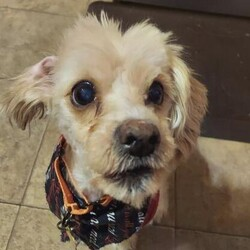 Adopt a dog:me/Maltese/Male/Senior,Hi, I'm Wrigley, and I'm an 11 yo Maltese mix who's best friends with Lexi. Some may call us 'super seniors', but we still like to zoom around the home occasionally and play like the good ole' days. We don't mind things called 'cats', or even bigger dogs, but aren't afraid to let them know if they've stepped over the line. I like to 'voice my opinion' occasionally, but am a good boy who enjoys being a busybody on the move. Some of my favorite things are when my people give me treats, take me for walks, and when I try to wriggle in between Lexi and her favorite lap spot. Just like Lexi, I enjoy doing my 'business' outside, and don't mind going in the kennel for a little peace and quiet - but if given the chance, I'd sure like to share the bed with my people. Having seen it all at this point, not much startles me anymore, I even don't mind baths or blowouts (although I think it's a ploy by Lexi to make me look fancy). I just enjoy the companionship of my good friend, Lexi, and people who will love me. We would both like to find a loving home together, with people who can give us all the snuggles and care we so deserve in our golden years.   If you are interested in Lexi and Wrigley, please apply at: AHeinz57.com