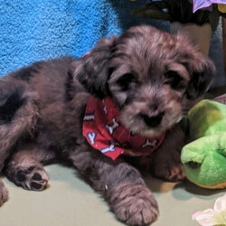 Max/Aussiedoodle/Male/,Look no further! You have found your new baby boy. Max is exactly what you have been looking for, perfect in every way. He loves playing ball in the yard and is always up for movie-time. He is just waiting for that perfect family to make him theirs. Don't miss out on this handsome baby boy. Max will be sure to come home to you up to date on his puppy vaccinations and vet checks. What are you waiting for? Make this cuddle bug yours today.