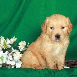 Dalton/Male /Male /Golden Retriever Puppy,Say hello to Dalton, a sweet Golden Retriever puppy who can be registered with the ACA! This adorable pooch is vet checked, up to date on shots and wormer, plus comes with a 30 day health guarantee provided by the breeder. Dalton loves to snuggle and would make the perfect family pet. If you are interested in meeting this calm pup, please contact Henry today!