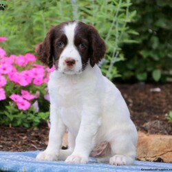 Lewie/Male /Male /English Springer Spaniel Puppy,Lewie is a sharp looking English Springer Spaniel puppy loves children and ready to meet his forever family. This fun & happy fellow is up to date on shots and dewormer plus, he has been vet checked. Lewie can be AKC registered and his breeder also provides health guarantee. He is family raised with children, well socialized and his mom is the family pet. Lewie is sure to be a great addition to your family. Please contact the breeder today to arrange a visit!