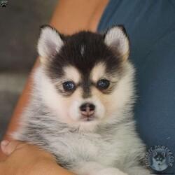 Kona/Female /Female /Pomsky Puppy,Note from the breeder: