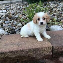 George/Male /Male /Cavachon Puppy