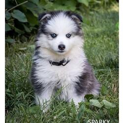Sparky/Male /Male /Pomsky Puppy
