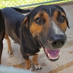 Adopt a dog:Denver/Affenpinscher/Male/Adult,