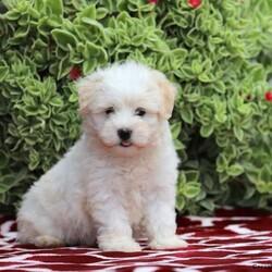 Dusty/Male /Male /Havanese Puppy