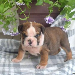 Bowser/Male /Male /English Bulldog Puppy,Look at this adorable & wrinkly English Bulldog puppy, Bowser! This cuddly little guy is being family-raised with children and is well socialized. Bowser has been vet checked, up to date on vaccinations and dewormer, plus comes with a 30-day health guarantee provided by the breeder. He is super friendly and can be registered with the AKC. For more information about this playful pooch, contact David today!