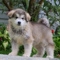 Silver/Male /Male /Alaskan Malamute Puppy