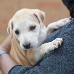 Adopt a dog:CALADESI/Hound/Female/Baby,CALADESI: 8 weeks, 6lbs, Hound Mix, Spayed Female, Estimated to Be About 50lbs Full Grown   Please Note: We can not guarantee breed mix nor full grown size. Both are educated guesses.  Home Recommendation: A high active household that is ready to take on the joys (and lots of hard work) of raising a puppy. They are working breed puppies so they are wicked smart and will need lots of stimulation and exercise as they grow into young adults. This breed mix requires an owner with some working breed primary dog ownership. Sorry to disappoint but if your dog experience stops at