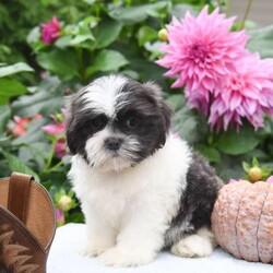 Runner/Male /Male /Teddy Bear Puppy