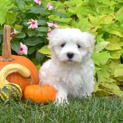 Alfie/Male /Male /Maltese Puppy