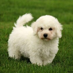 Ian/Male /Male /Bichon Frise Puppy,Meet Ian, a cute Bichon Frise puppy who is lovable as can be. This pup is vet checked, up to date on vaccinations & dewormer plus Ian comes with a 30 day health guarantee provided by the breeder. And, he can be registered with the ACA. For more information about this peppy pooch, call the breeder today!