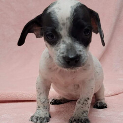 Adopt a dog:JOLLIE/Australian Cattle Dog / Blue Heeler/Female/Baby,JOLLIE: 8.5 weeks and 5lbs (as of 10/2/21), Heeler Mix, Spayed Female, High Active - Estimated to Be About 35lbs Full Grown   Please Note: We can not guarantee full grown size nor breed mix. Both are educated guesses.   Home Recommendation: A high active household that is ready to take on the joys (and lots of hard work) of raising a puppy. They are working breed puppies so they are wicked smart and will need lots of stimulation and exercise as they grow into young adults. This breed mix requires an owner with some working breed primary dog ownership. Sorry to disappoint but if your dog experience stops at
